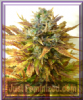 Seedsman Auto Sour Diesel Haze Fem 10 Pot Seeds